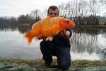 koï couleur poisson rouge